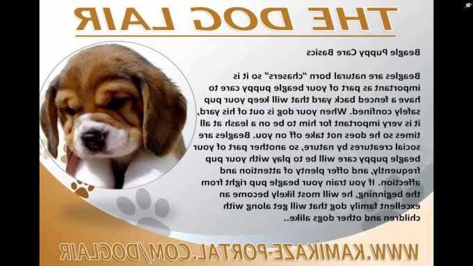 Beagle Puppy Care