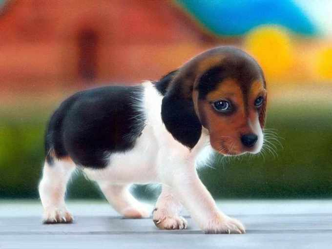 Beagle Puppy Facts