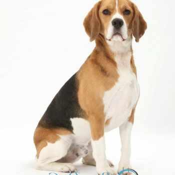 Beagle Qualities