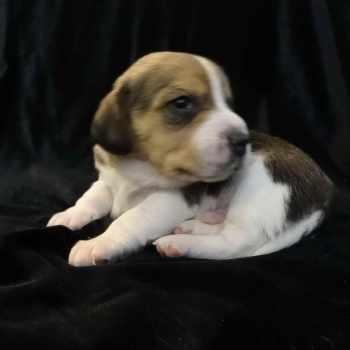 Beagle Rescue Dallas
