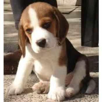 Beagle Rescue Indiana