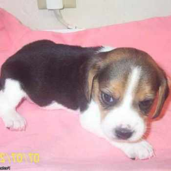 Beagle Rescue Iowa