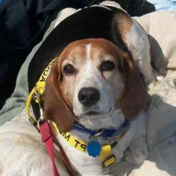 Beagle Rescue San Antonio