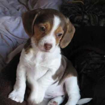 Beagle Rescue Texas