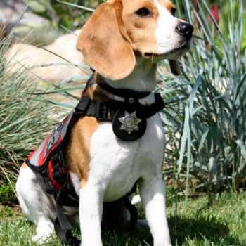 Beagle Therapy Dog
