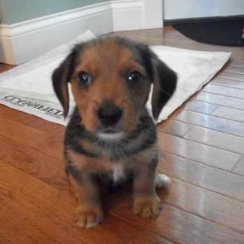 Beagle Yorkie Mix Puppies For Sale