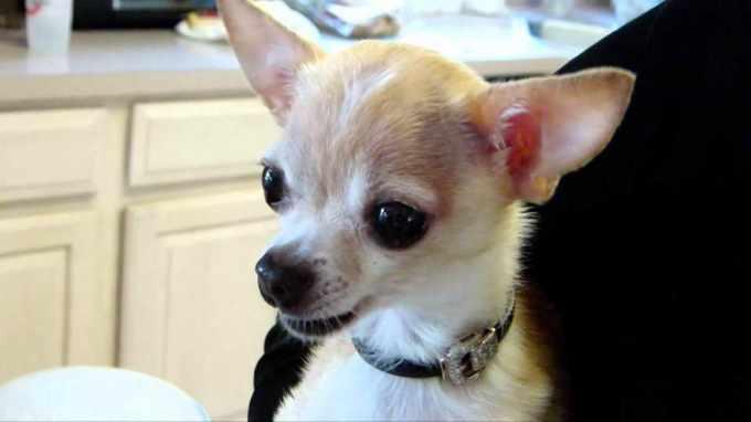 Benadryl For Chihuahua