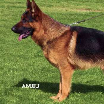 Best German Shepherd Breeder