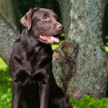Best Labrador Retriever Training Books