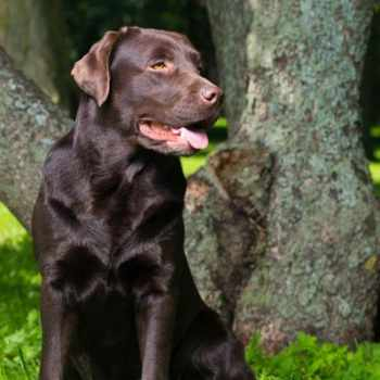 Best Labrador Training Book