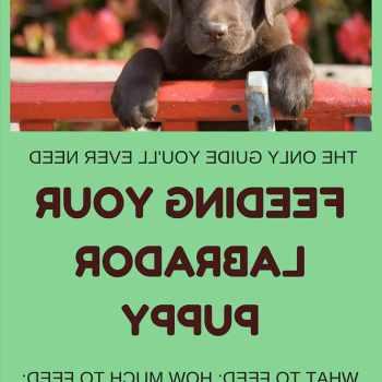 Best Puppy Food For Labrador Retrievers