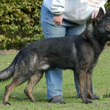 Best Working Line German Shepherd