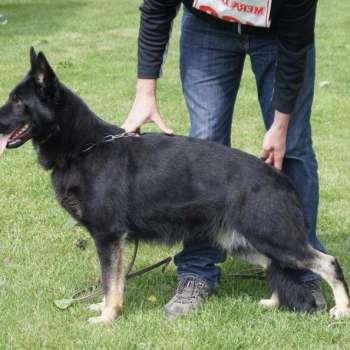 Bi Color German Shepherd