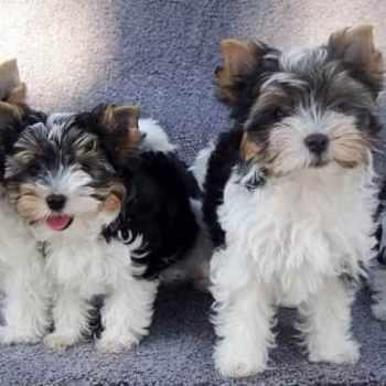 Biewer Terrier Club Of America