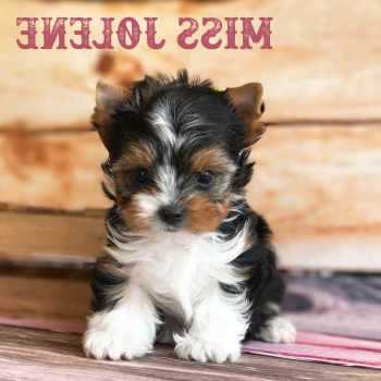 Biewer Yorkshire Terrier Puppies For Sale