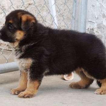 Black And Brown German Shepherd Puppies For Sale