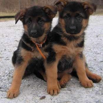 Black And Red German Shepherd Breeders