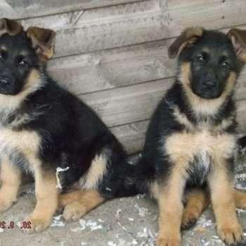 Black And Tan German Shepherd For Sale