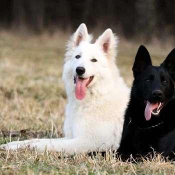 Black And White German Shepherd Puppies