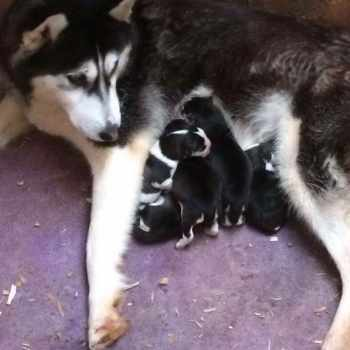 Black And White Husky Puppies With Blue Eyes For Sale
