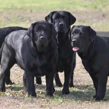 Black English Labrador