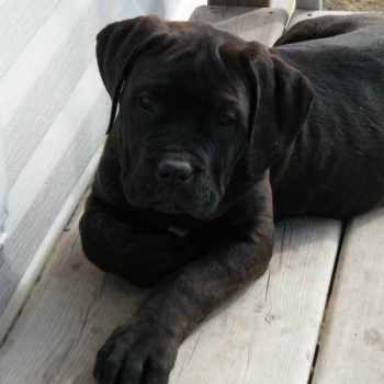 Black English Mastiff Puppies For Sale