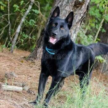 Black German Shepherd Adoption