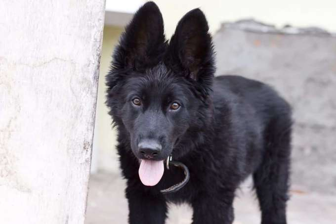 Black German Shepherd For Sale