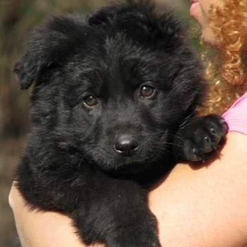 Black German Shepherd Puppies For Adoption