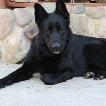 Black German Shepherd Puppies For Sale In Michigan