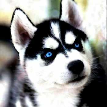 Black Husky With Blue Eyes