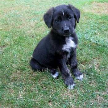 Black Lab German Shepherd Puppies