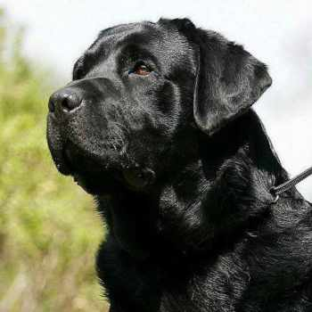 Black Labrador Price