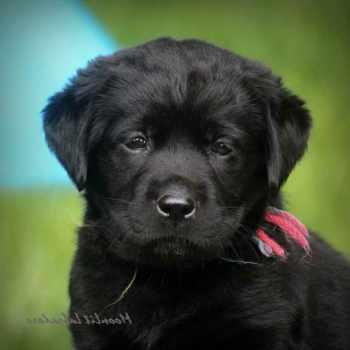 Black Labrador Puppies For Sale Near Me