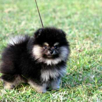 Black Pomeranian Price
