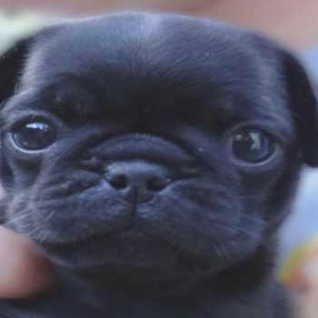 Black Pug For Sale Los Angeles