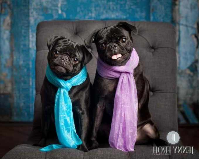 Black Pug Puppies Dallas