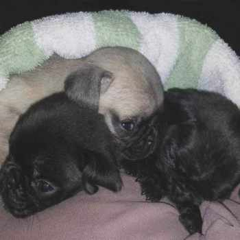 Black Pug Puppies Florida