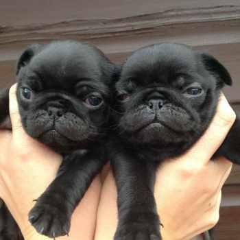 Black Pug Puppies For Adoption
