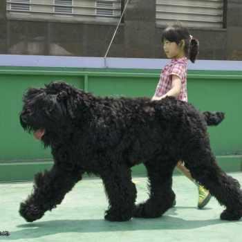 Black Russian Terrier Puppies Cost