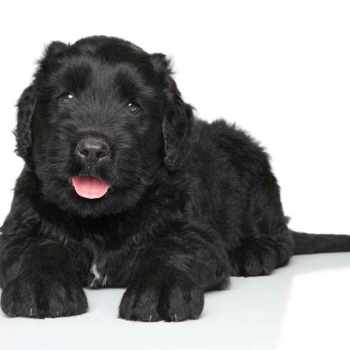 Black Russian Terrier Rescue