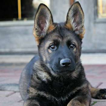 Black Sable German Shepherd Breeders