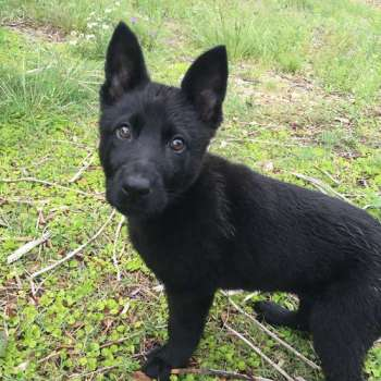 Black Short Haired German Shepherd Puppies