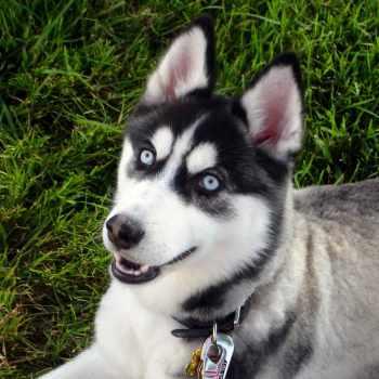 Black Siberian Husky With Blue Eyes