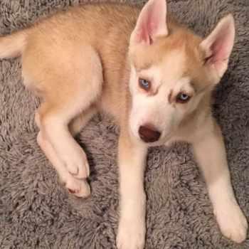 Blonde Husky Puppy
