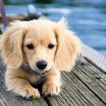 Blonde Long Haired Dachshund Puppy