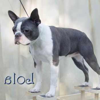 Blue Boston Terrier Cost