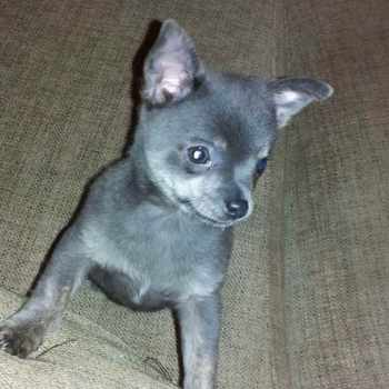 Blue Chihuahua For Sale