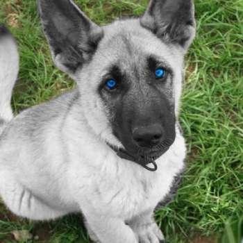 Blue Eyed German Shepherd Puppy
