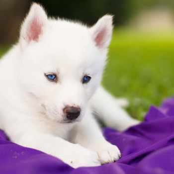 Blue Eyed Husky Puppy For Sale